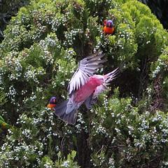 Go Galah (Pamela Jay) Tags: pink grey inflight australia nsw colourful coloured galahs pinkandgray eolophusroseicapilla galahcockatoo rosebreastedcockatoo roseatecockatoo pamelajay australianrosebreastedcockatoo