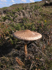 mushroom (the incredible how (intermitten.t)) Tags: mushroom coast fungi coastal parasol fungus pembrokeshire macrolepiota stdavids sirbenfro procera tyddewi macrolepiotaprocera 2961 20150927