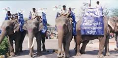Elephant march to promote vegetarianism, New Delhi, India (Animal People Forum) Tags: people india elephant animals asian march protest riding vegetarian elephants mammals workinganimals activists newdelhi asianelephant animalcause