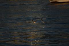 Seagulls (Sreejesh Kalari Valappil) Tags: dubai uae mamzarbeach beach seagull birds d7100 sigma70300 дубай