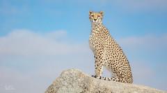 Cheetah Posing ... (ClaudiB.) Tags: nature animal animals tiere nikon wildlife wildanimal cheetah 1001nights cheetahs tier gepard geparden 1001nightsmagiccity nikond7100