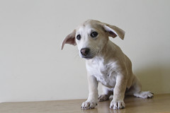Tawny the 12 Week Adopted Terrier Corgi Mix (Immature Animals) Tags: puppy sad ears pup tawny