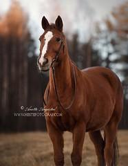 Adrian (Hestefotograf.com) Tags: winter horses horse snow love oslo norway caballo bokeh pony camouflage cavalos ponies forever pferde dappled cavalo pferd whitehorse equine equus paard horseandgirl equinephotography equinephotographer hestefotograf
