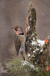 Northern Flicker male Tekiela TEK1026