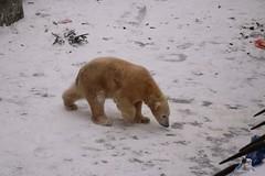 Eisbr Fiete im Zoo Rostock 23.01.2016  024 (Fruehlingsstern) Tags: vienna zoo polarbear vilma eisbr erdmnnchen fiete zoorostock geparden baumknguru canoneos750 tamron16300