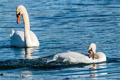 A Couple (Judy Lubeski) Tags: white nature birds li wings swans waterfowl wingspan muteswans rvc