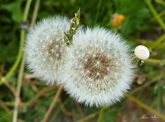 P1520648 Dandelion Summer (Susan Cooley) Tags: seedpods favoritephotos