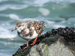 Ruddy Turnstone (Arenaria interpres) in Non-breeding plumage (Nature In a Snap) Tags: bird nature wildlife jetty birding nj sp inlet barnegat birdwatching shorebird arenaria turnstone ruddy 2016 interpres
