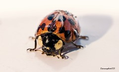 FIRST LADYBIRD OF THE YEAR. (darrensphoto123) Tags: macro lady bug insect nikon micro ladybird 40mm makro d5200