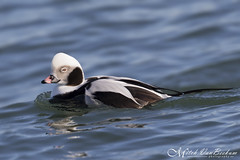 Long-Tailed Duck (Mitch Vanbeekum Photography) Tags: duck newjersey long nj tailed longtailedduck barnegatlightnj canonef500mmf4lisiiusm canoneos1dx canon14teleconvertermkiii mitchvanbeekum
