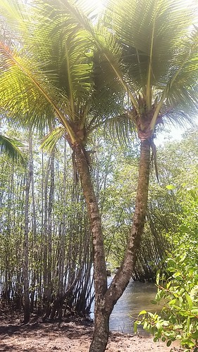 Coqueiro gêmeos- Itacaré BA