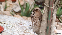 Owl Bird (qeighty) Tags: bird beautiful birds animal canon photography eos 50mm natural outdoor 14 50mm14 kuwait canoneos q8 2015 eosm colorsinourworld canoneosm eosm3 canoneosm3