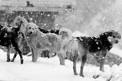 Gaddi Dogs (_DSF5902) (Param-Roving-Photog) Tags: road blackandwhite bw dog mountain snow monochrome indian pack stray snowfall manali himachal himalayas rohtang gaddi palchan