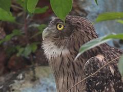 Common Brown Fish Owl (SivamDesign) Tags: brown fish bird fauna canon eos rebel kiss 300mm owl tele common x4 extensiontube 550d ef12ii brownfishowl ketupazeylonensis canonef300mmf4lisusm t2i bubozeylonensis bubozeylonensisleschenault