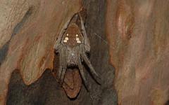 'Eriophora' (dustaway) Tags: arthropoda rathdowney loganvalley nature sequeensland queensland australia arachnida araneae araneomorphae araneidae araneinae eriophora crypsis spinne natur araignee