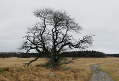 That Old Tree (Steffe) Tags: tree sweden path haninge vlsta swedishwhitebeam oxel panoramamadefromninephotosshotwiththeniftyfifty