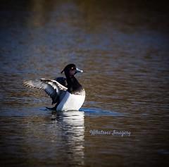 And Stretch! (Albatross Imagery) Tags: lake bird beautiful birds duck wings wildlife ducks tuftedduck rspb ukwildlife lakebirds countryfile winterwatch