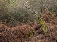 Last Dance (Damian_Ward) Tags: trees winter photography berkhamsted common nationaltrust hertfordshire ashridge herts ashridgeestate damianward ©damianward