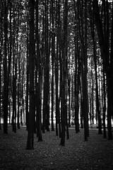 *** (Misha Sokolnikov) Tags: leica trees blackandwhite bw abstract tree nature monochrome photography 50mm photo woods pattern graphic noiretblanc russia moscow minimal apo monochrom noirblanc arkhangelskoye blackwhitephotos blanconoir tumblr aposummicron artistsontumblr leicamonochrom leicamm photographersontumblr