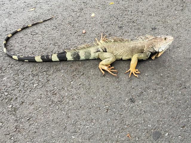 A bored iguana/