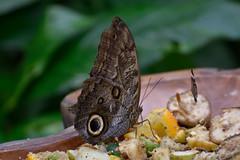 Peleides Blue Morpho Butterfly (Bri_J) Tags: uk butterfly nikon sheffield yorkshire morphopeleides southyorkshire tropicalbutterflyhouse peleidesbluemorpho d7200