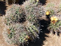 Ferocactus herrerae (amantedar) Tags: cactus spain catalonia ferocactus cactusgarden caproig jardinsdecaproig ferocactusherrerae