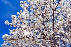 Bradford Pear tree blossoms (hz536n/George Thomas) Tags: sky copyright tree oklahoma march spring pear bloom canon5d stillwater bradfordpear 2016 bartlettpear ef1740mmf4lusm cs5 georgethomas