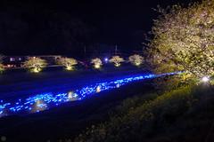 20160305-DSC_2231.jpg (d3_plus) Tags: street sea sky plant flower nature japan spring nikon scenery nightshot cloudy bloom  cherryblossom  sakura lightup nightview 28105mmf3545d nikkor    shizuoka    izu   28105   rapeblossom    28105mm  zoomlense  minamiizu    kawazuzakura    28105mmf3545 d700 281053545  nikond700 shimokamo aiafzoomnikkor28105mmf3545d nightcherryblossom 28105mmf3545af    southcherryblossomandrapeblossomfestival aiafnikkor28105mmf3545d shootingstarsandsakurainnight sakurainnight