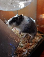 DSCN9776 Alice (therovingeye) Tags: pets animals gerbil rodents gerbilhabitat