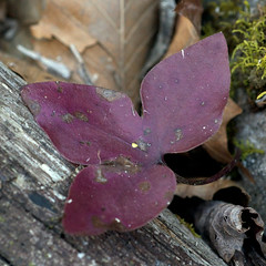 Anemone acutiloba (Eric Hunt.) Tags: leaf purple anemone ranunculaceae ephemeral anthocyanin anemoneacutiloba