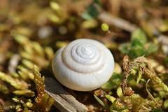 snail shell (katrinaelsi) Tags: nature spiral outside nc moss geometry shell snail outinouryard