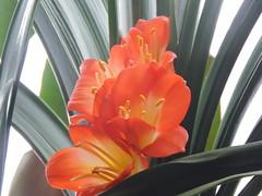 Fleurs Clivia - Clivia flowers.........7 Mars 2016..........DSCN1617 (Diane.G.) Tags: fleurs flowers joyeusespâques happyeaster pâques easter dmslair flickrdiamond diamondphotographer jadensgarden thesunshinegroup coth clivia inexplore coth5 damniwishidtakenthat supershot eblouissantenature faunaandflora damnfinepicture alittlebeauty onceinyourlife bestofdamn lapetitegalerie confidentialisthebest realbutee photossansfrontières fantasticnature ayezloeil treasuresokkeepyoureyesopen collectionparimpatience livingjewelsofnature preciouslivingjewelsofnature memberschoice