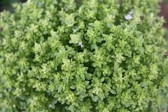 Albahaca (fernand0) Tags: verde green spain crdoba albahaca