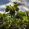Heleborus foetidus 2 (flickrolf) Tags: sun snow plant flower green foliage stinks niesswurz