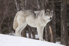 Grey Wolf (Eunice Gibb) Tags: canada forest quebec wildlife parc parcomega forestanimals montebello canadianwildlife canadiananimals quebecwildlife