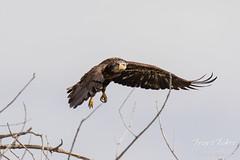 Juvenile Bald Eagle struggles to land - 8 of 27