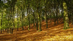 Autumn (Emiel Dekker) Tags: autumn trees nature netherlands leaves forest bomen woods outdoor heather sony herfst nederland natuur bos veluwe buiten posbank heide moorland heathland gelderland a57 bladeren rheden