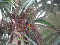 """Tikal: un toucan juste devant notre chambre <a style=""""margin-left:10px; font-size:0.8em;"""" href=""""http://www.flickr.com/photos/127723101@N04/25635919904/"""" target=""""_blank"""">@flickr</a>"""
