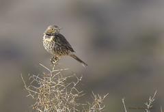 Sage Thrasher (Happy Photographer) Tags: colorado sagethrasher amyhudechek nikon200500f56