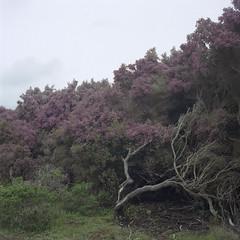purple (pelado.) Tags: california flowers green 120 6x6 film purple marin hike trail mttam tamalpais yashicamat124g portra400