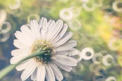 316 (Rafi Moreno) Tags: naturaleza primavera nature daisies canon vintage spring soft bokeh hipster pale retro desenfoque margarita silvestre rafi 365proyect proyecto365fotos