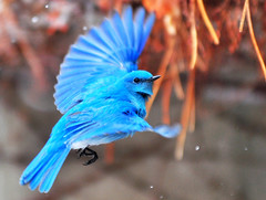Artic ice on wing (Kevin Casey Fleming) Tags: life blue winter portrait orange usa mountain snow mountains cold color cute bird art college ice nature colors beautiful beauty face field birds animal animals clouds composition outdoors nice interesting wings eyes nikon focus colorado colorful university pretty dof bright action bokeh outdoor expression character wildlife flight adorable fortcollins vivid ivy story exotic vision photograph beaut environment rockymountains depth narrative csu ferocious undergraduate orenge enviroment coloradostateuniversity d90 fethers