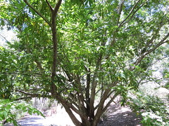 Chinese wingnut 楓楊 Pterocarya stenoptera  楓楊屬 (Sheila's collection) Tags: chinese wingnut juglandaceae 胡桃科