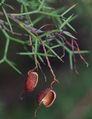 Grevillea ?, Kings Park, Perth, WA, 24/03/16 (Russell Cumming) Tags: plant perth kingspark westernaustralia grevillea proteaceae