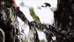 Gray Jay (C-Brese) Tags: bird oregon video wildlife grayjay greyjay perisoreuscanadensis whiskeyjack canadajay cbrese