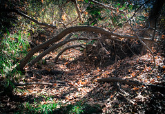 Nature's Ribcage (scream2566) Tags: tree green broken nature hiking deformed
