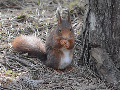 Red Squirrel at Formby (Peter Owen) Tags: red squirrel redsquirrel formby pinewoods