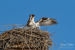 Osprey returns from Home Depot sequence - 20 of 27