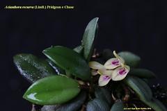 Acianthera recurva (Luiz Filipe Varella) Tags: brazil rio brasil grande flora do orchids da orqudeas mata sul brasileiras atlntica pleurothallis espcies acianthera pleurothallidinae recurva