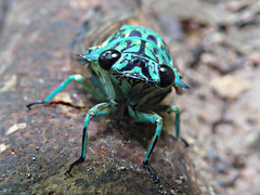 Zammara smaragdina_2015 (Surfishrink) Tags: cicada insect honduras h panacam zammarasmaragdina